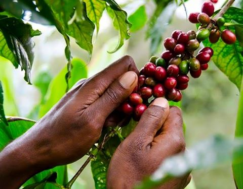 Bad decision puts coffee growers out of business.