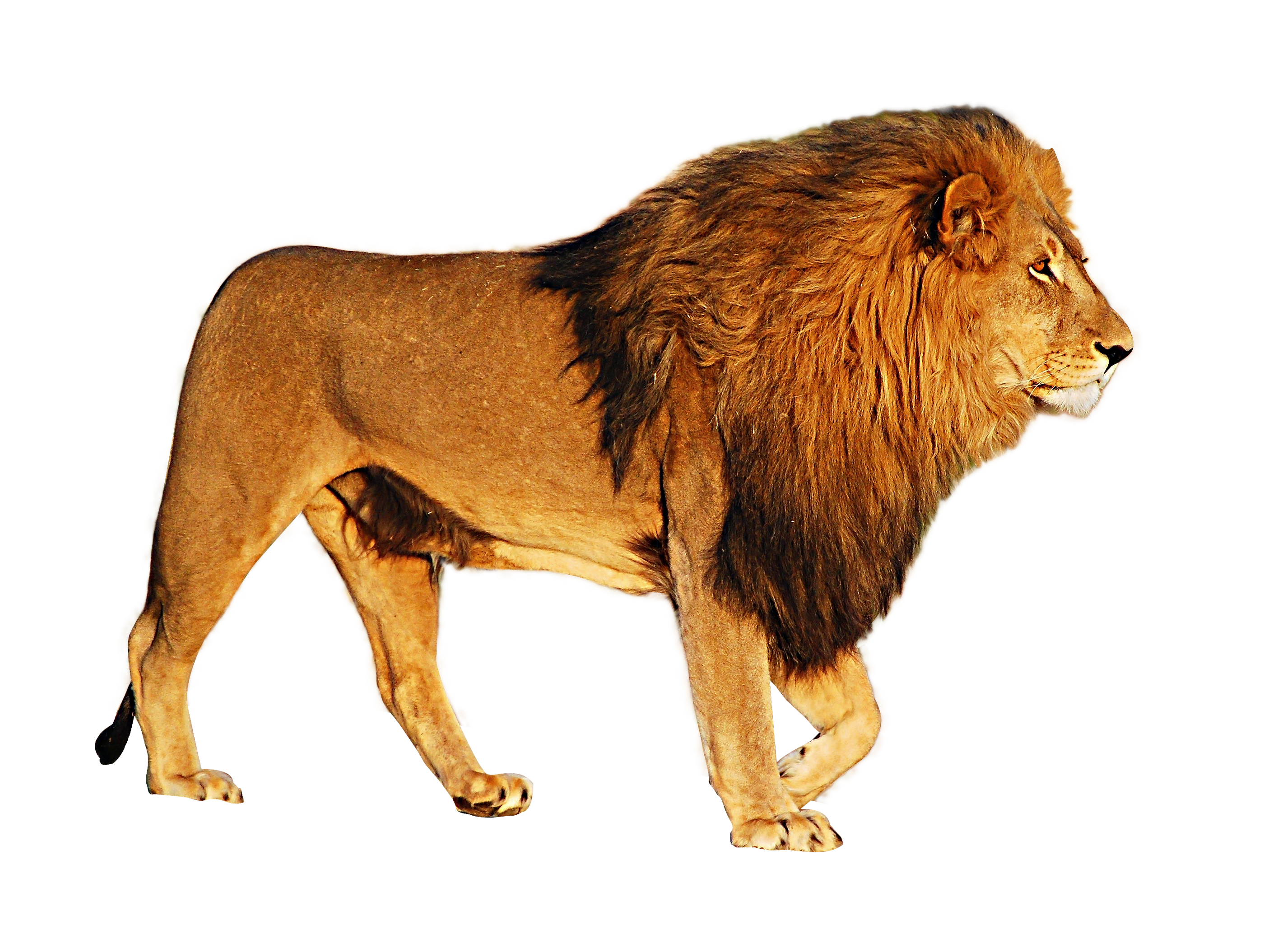 Lion HD PNG Transparent Lion HD.PNG Images..