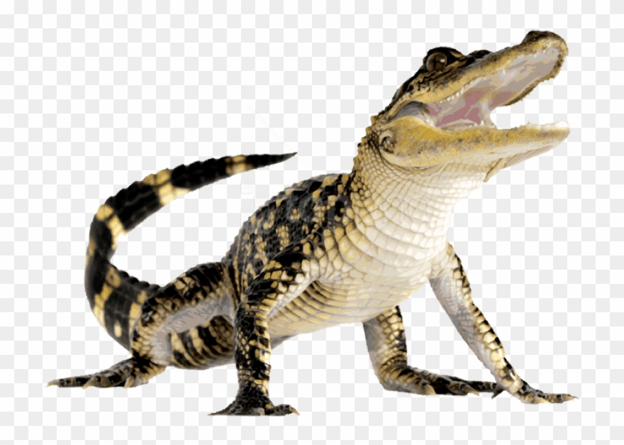 Free Png Download Crocodile Png Images Background Png.