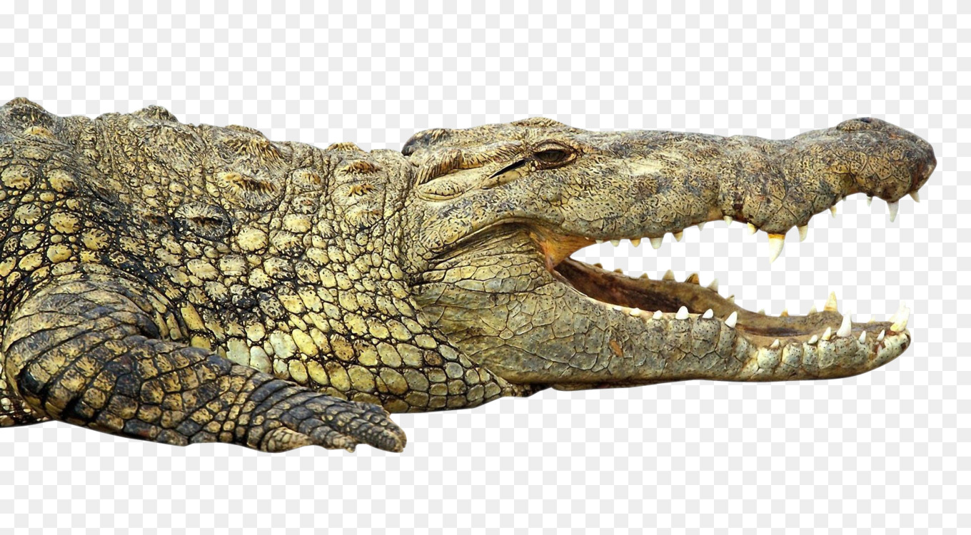 Reptile,Nile Crocodile,American Alligator Transparent PNG.