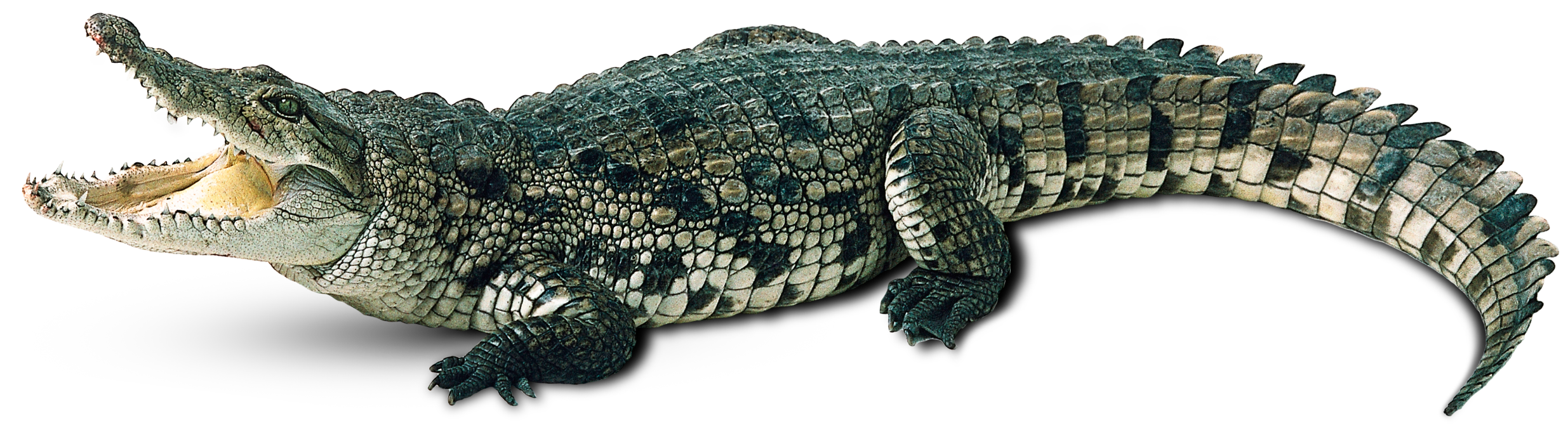 Crocodile PNG Transparent Images.
