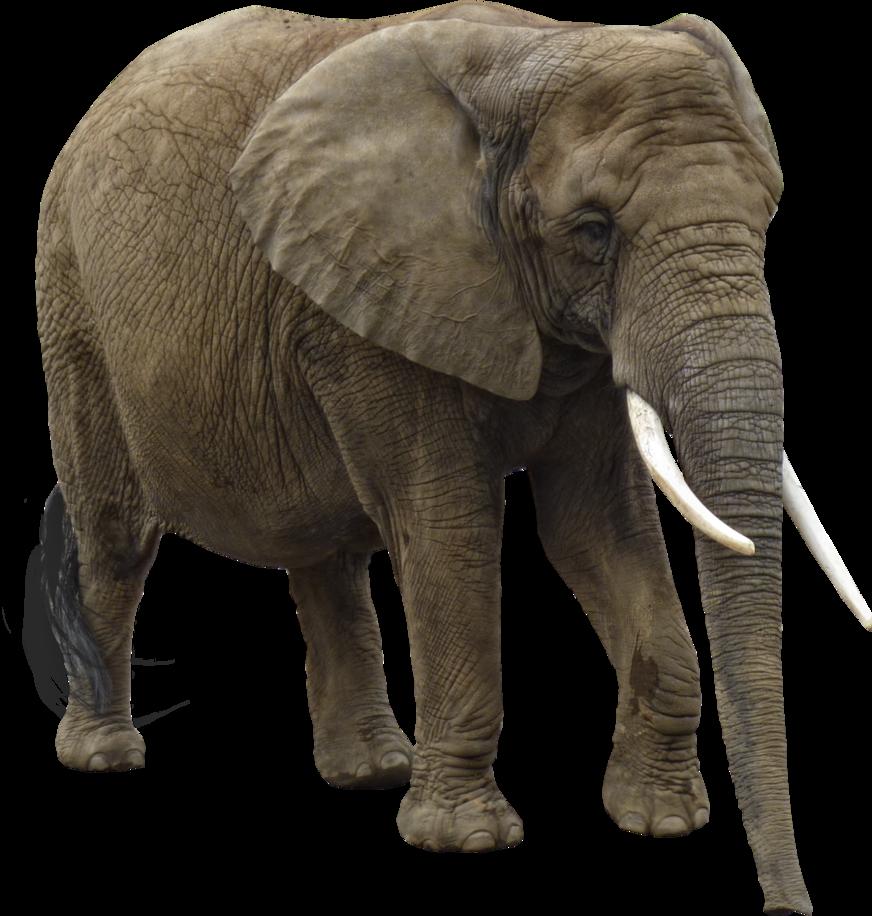 Elephant PNG Image.