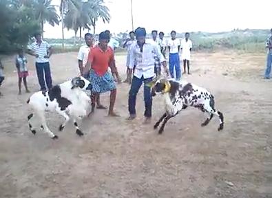 Goat Fighting.