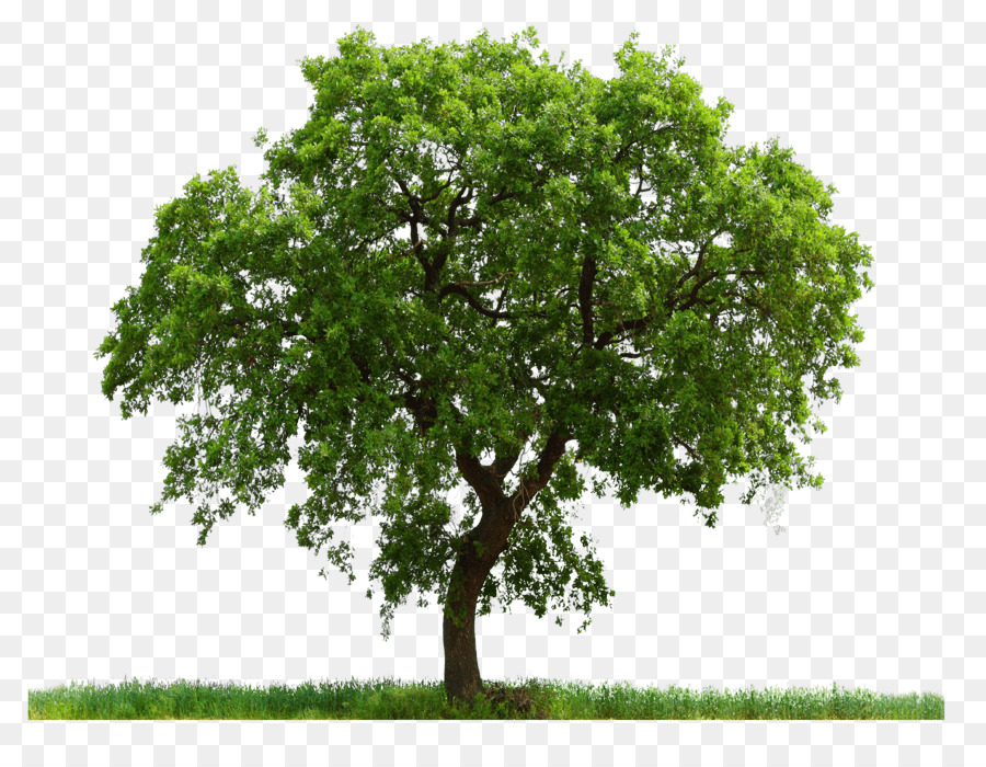 Download Free png Tree English oak Adobe Photoshop Clip art.