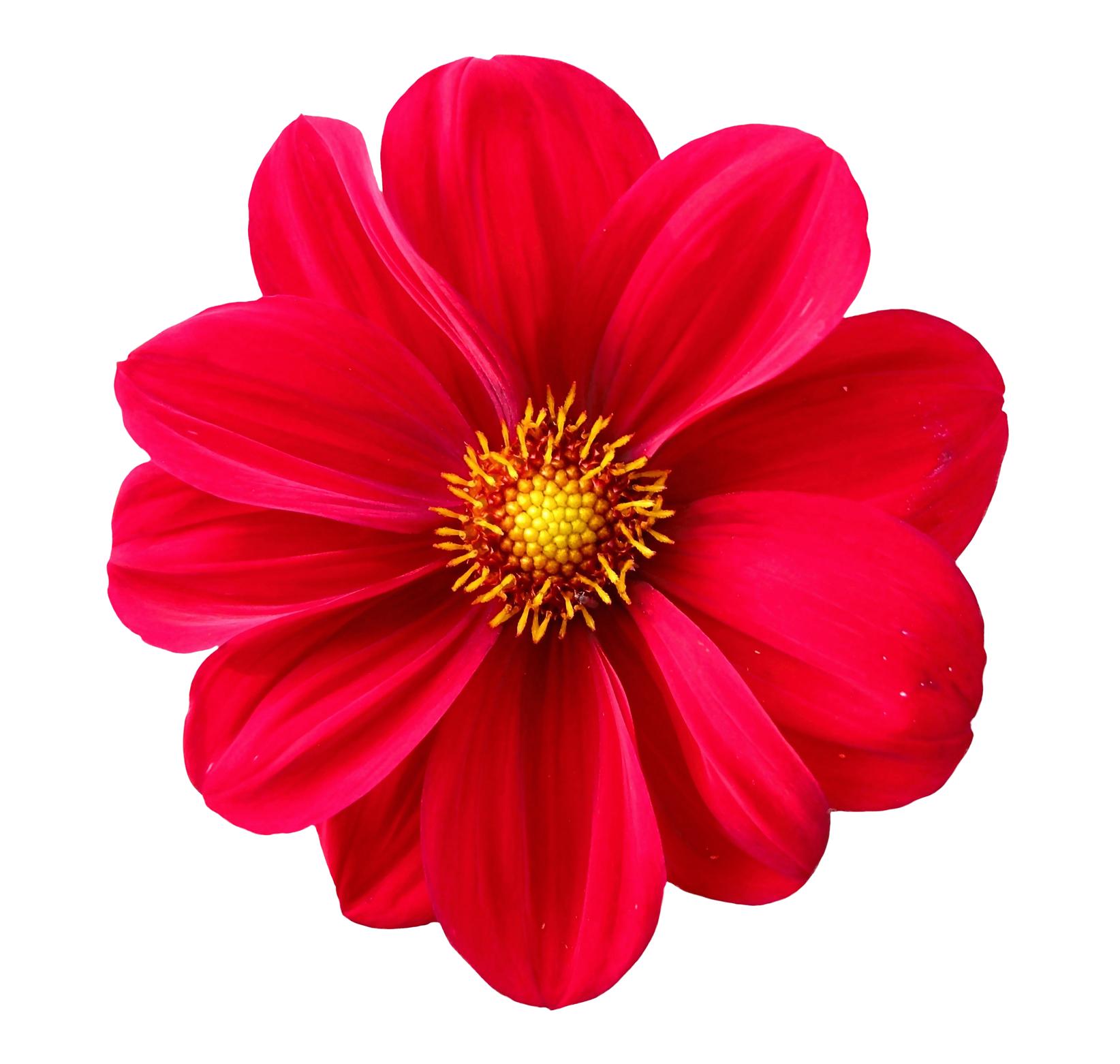 Flower PNG Transparent Flower.PNG Images..