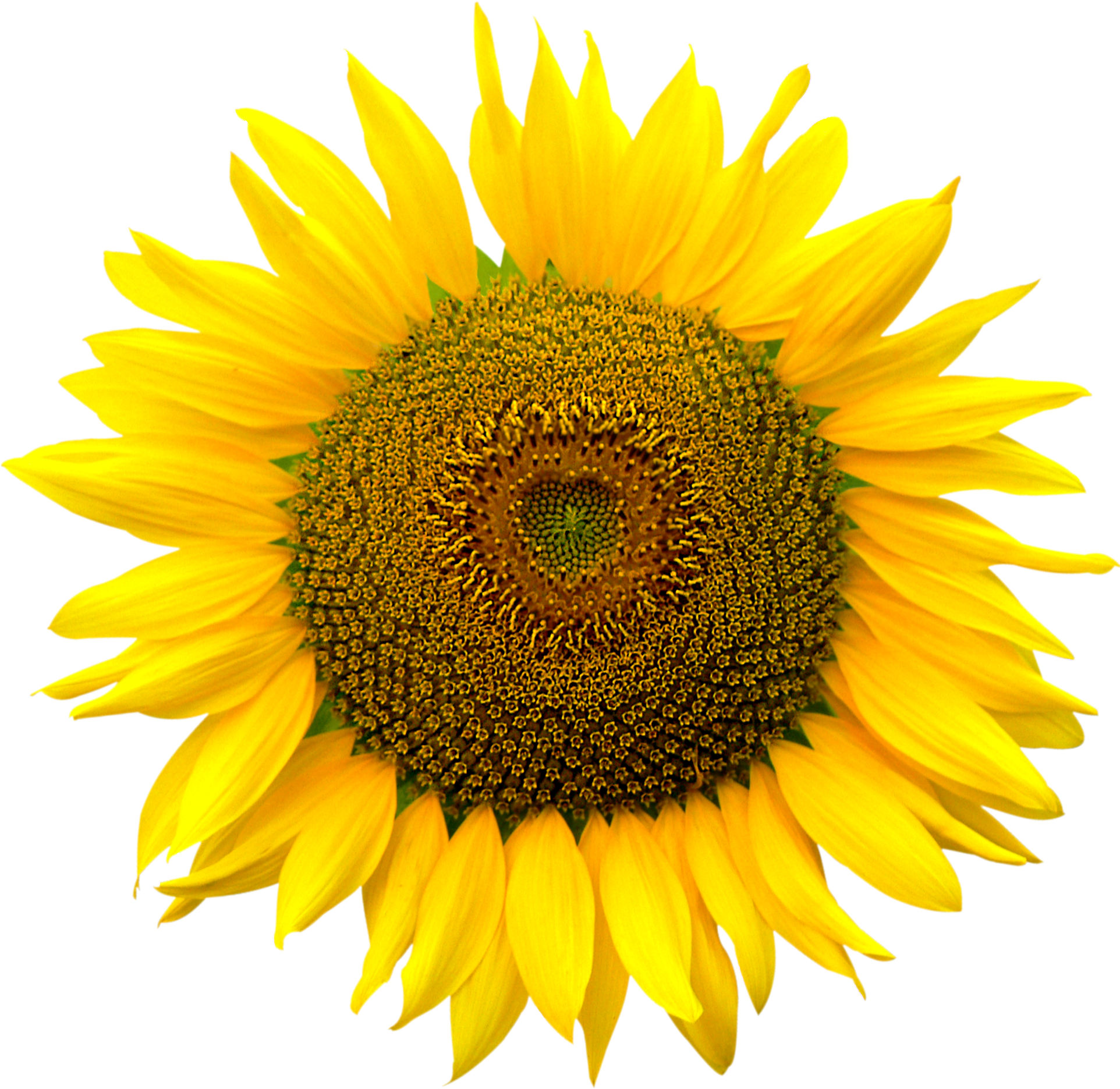 Sunflower heart inside, Png file, Attention only the maximum.