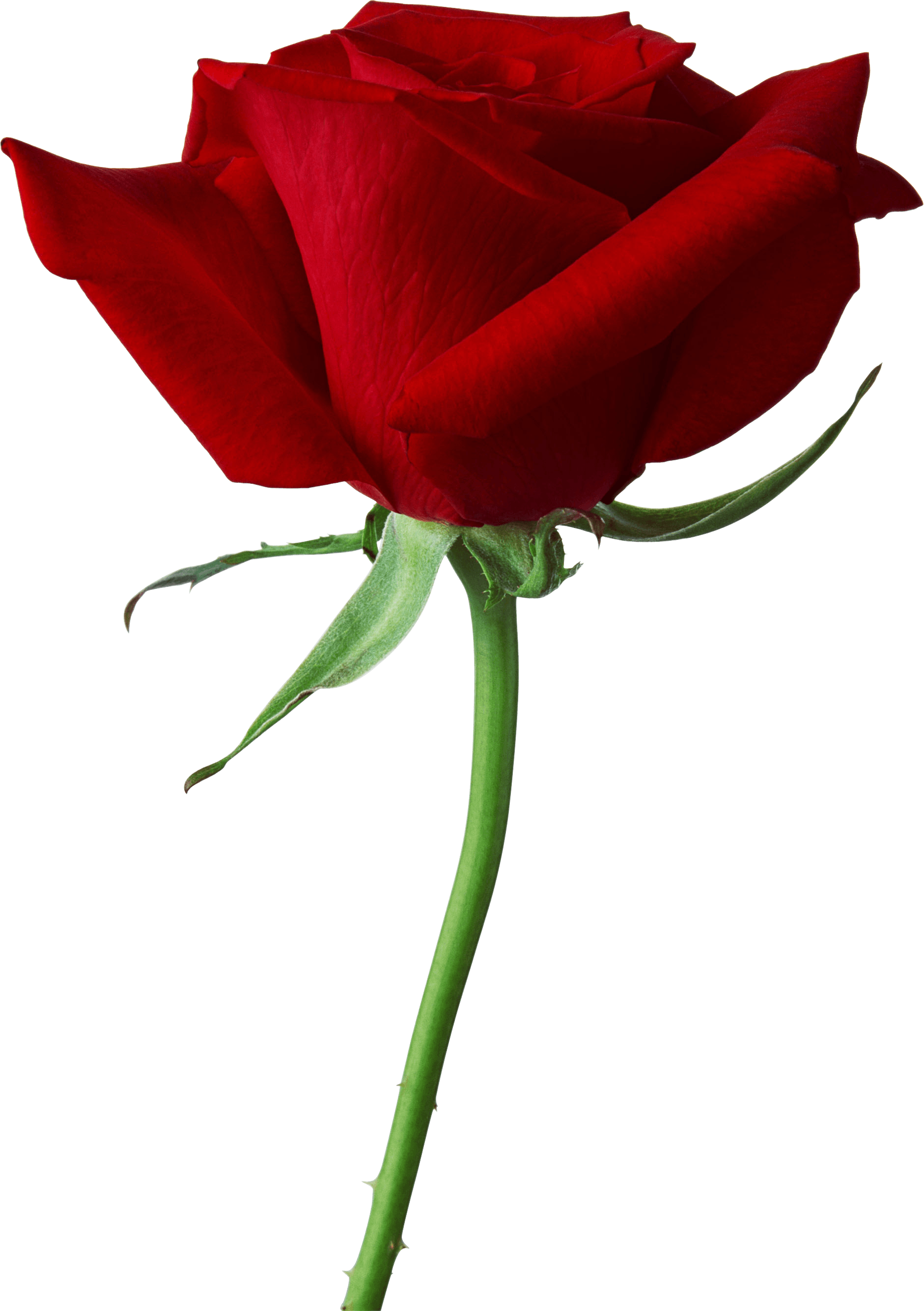 Download Rose Png Image Picture Download HQ PNG Image.