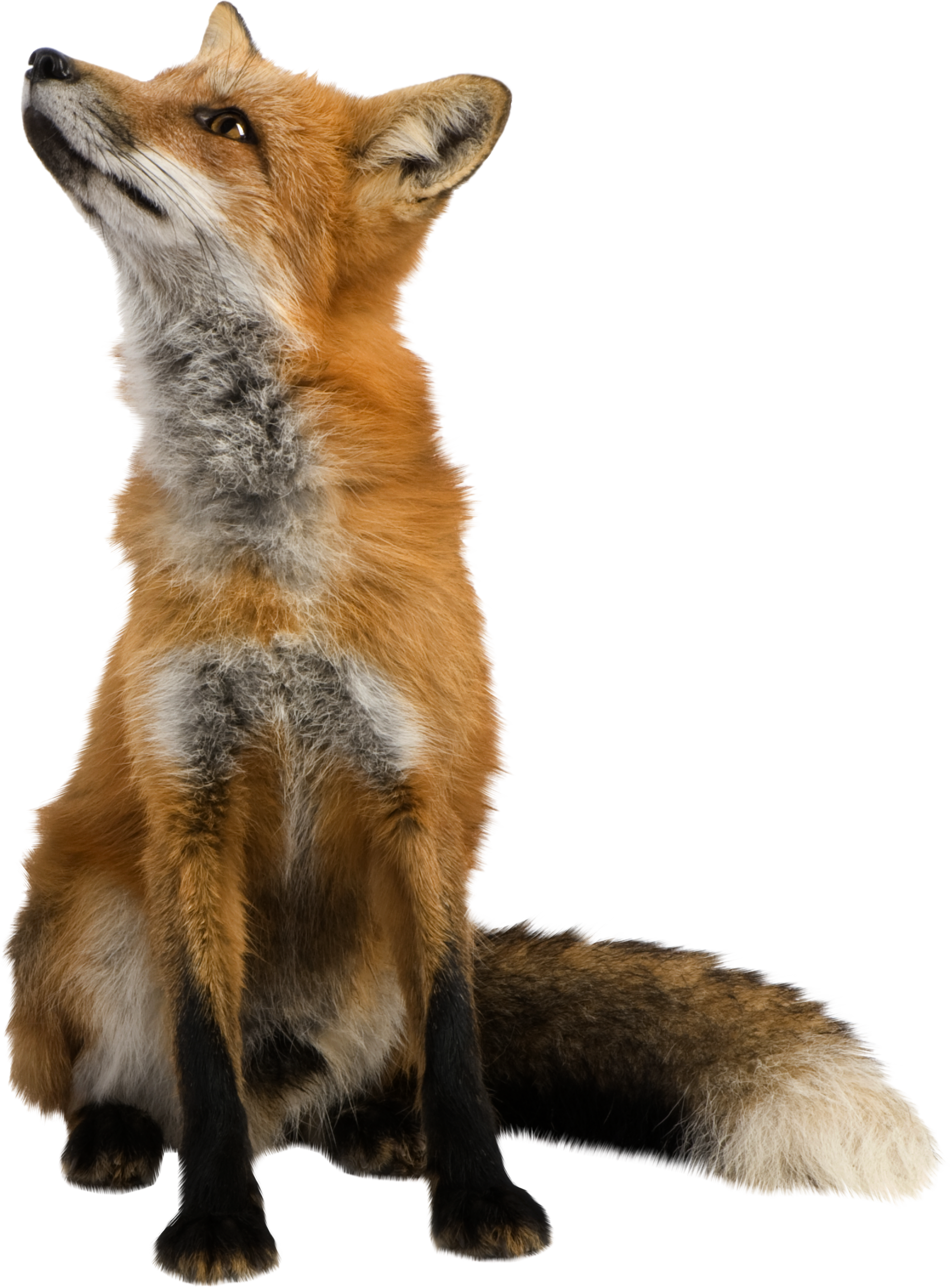 Fox PNG images, free download pictures.