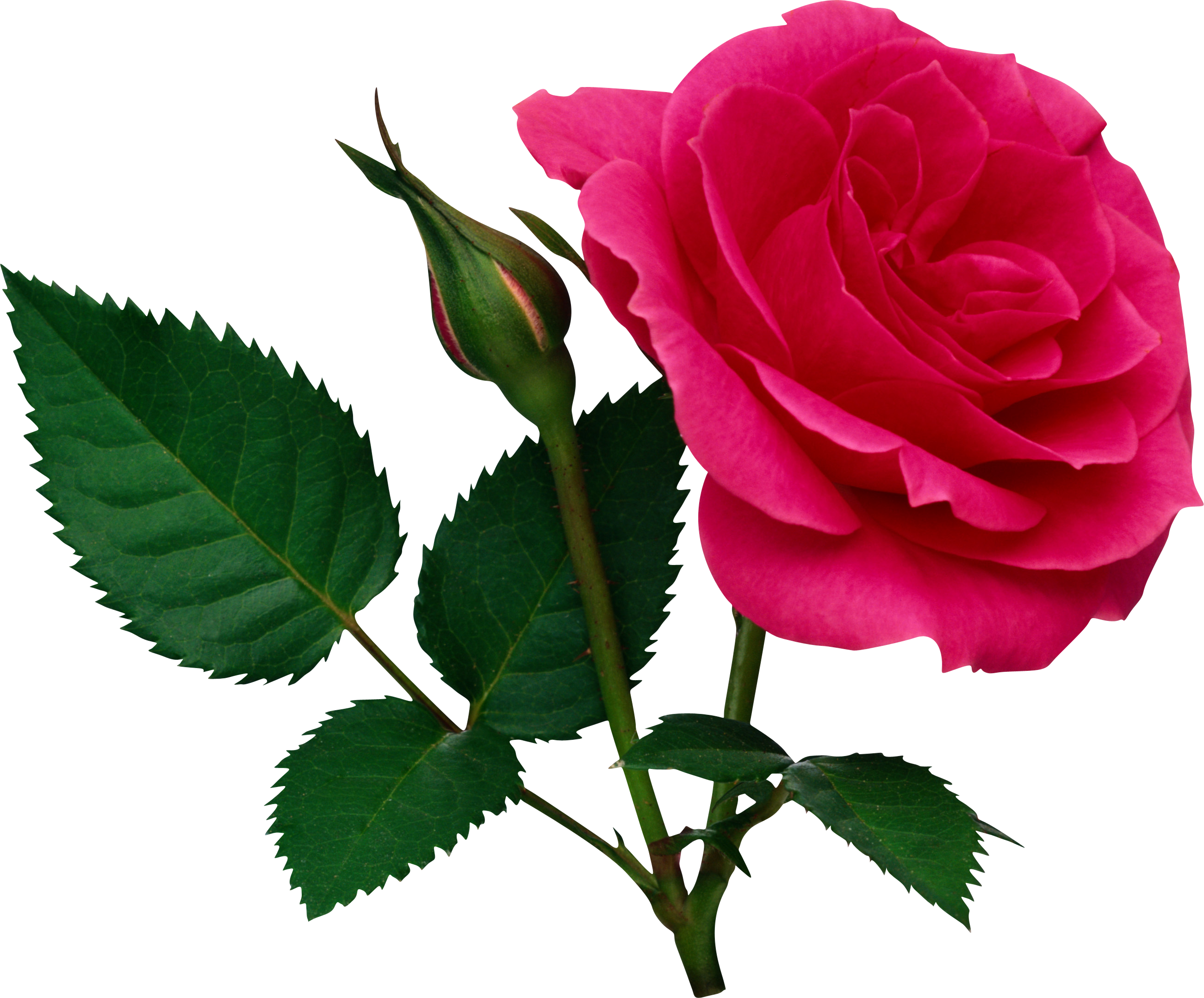 Pink Large Rose and Rose Bud PNG Clipart.
