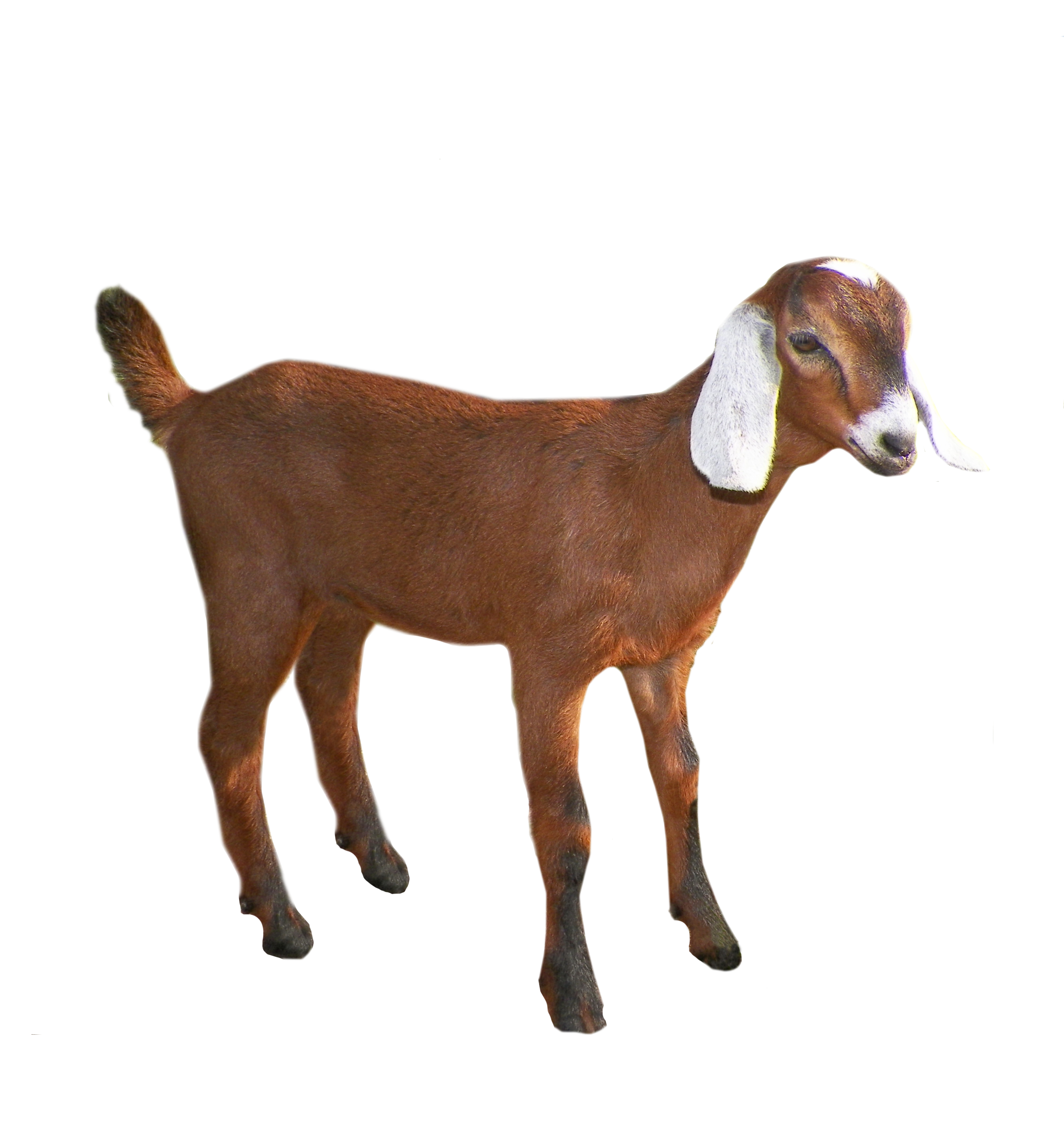 Goat PNG images free download, goat PNG.