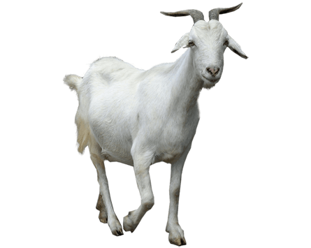 Goat Walking transparent PNG.