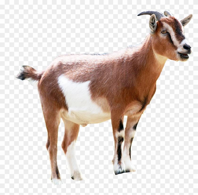 Goat Png Image Transparent Background.