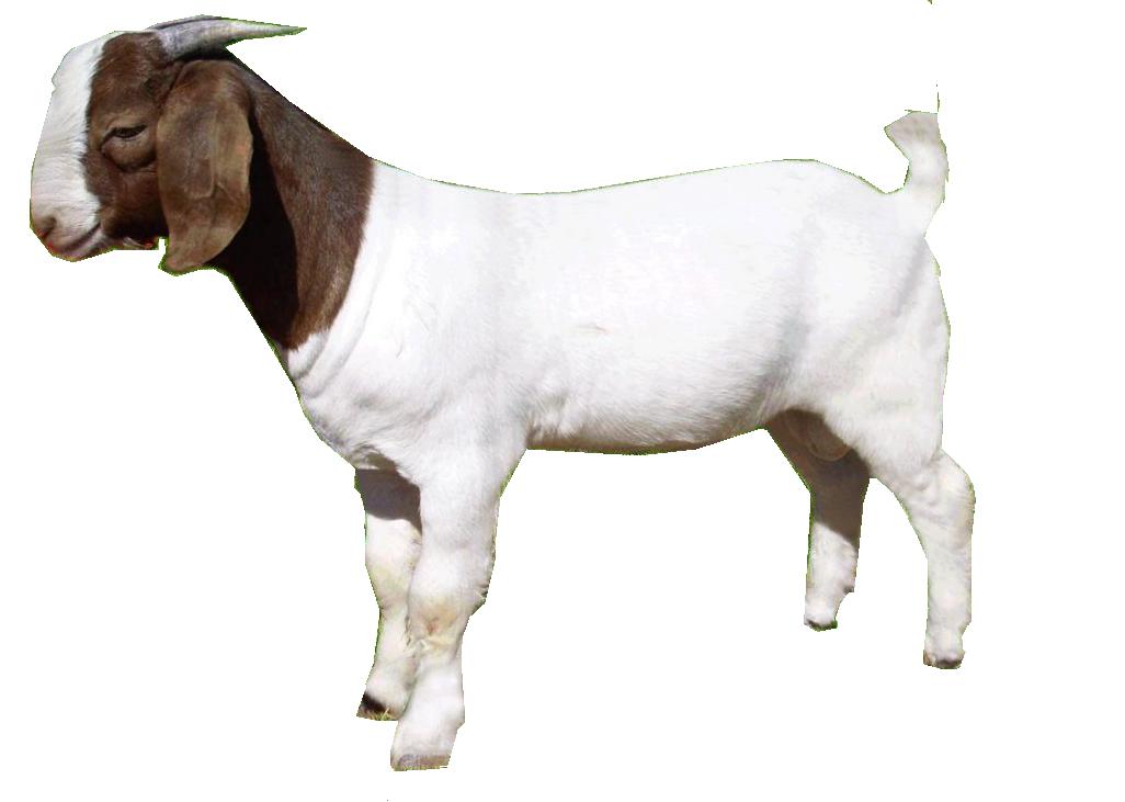 Download Goat PNG.