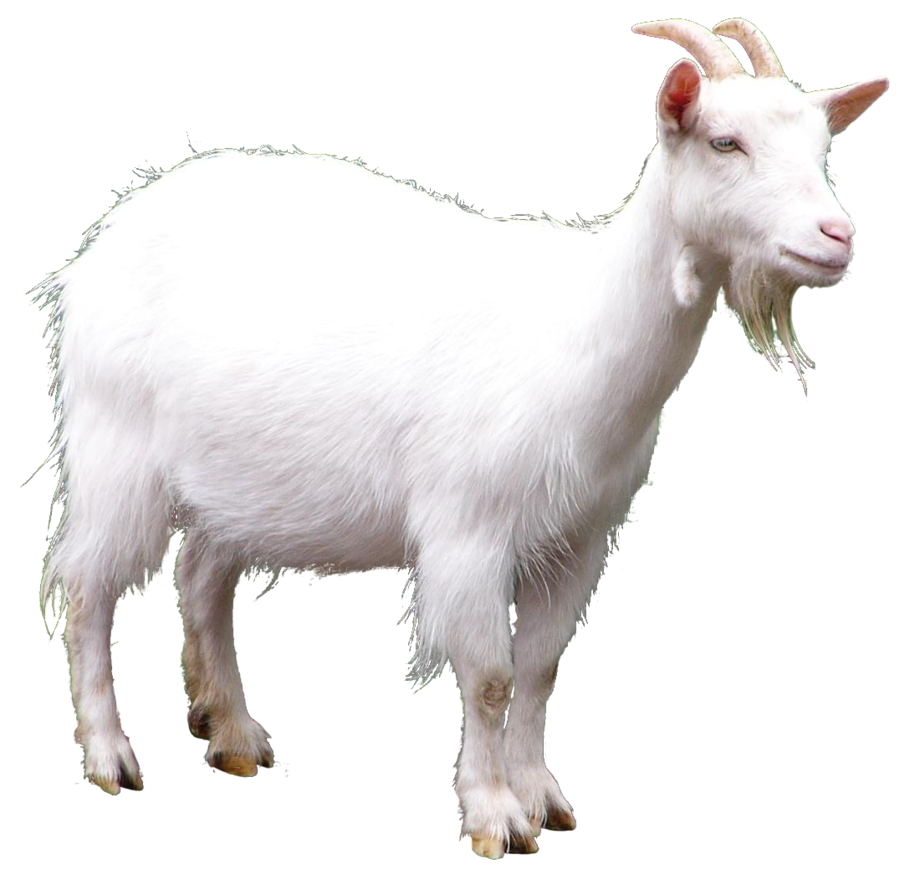 Free White Goat PNG Transparent Photo #5.