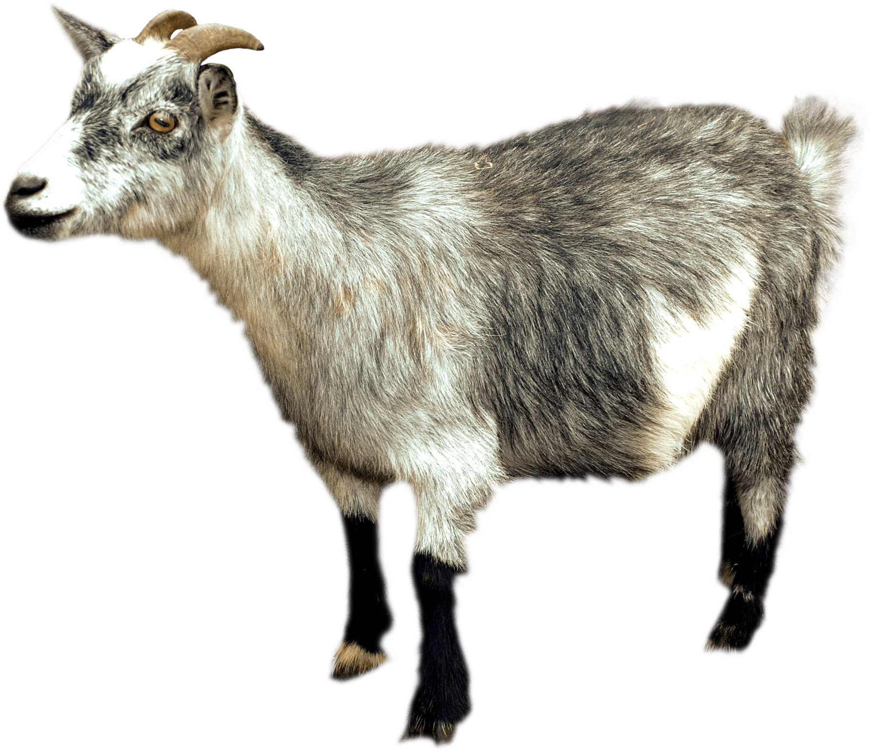 Goat Sideview transparent PNG.