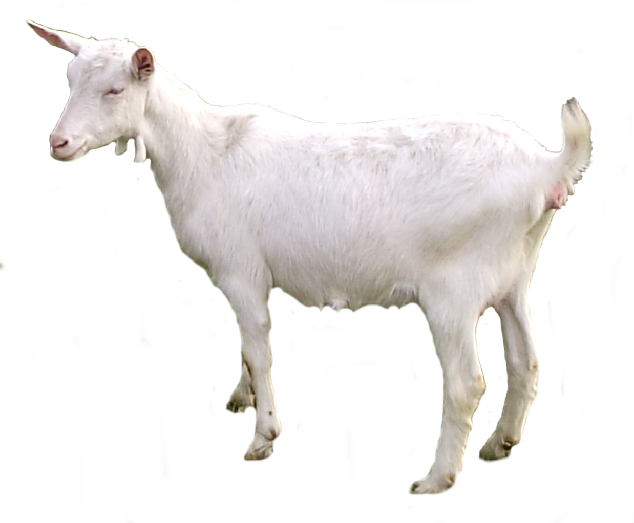 Goat PNG images.