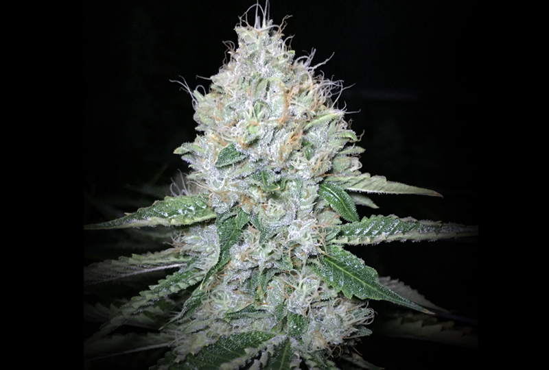 Jew Gold on Fire (The Vault Seed Bank) :: Cannabis Strain Info.