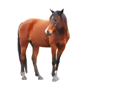 Download HORSE Free PNG transparent image and clipart.