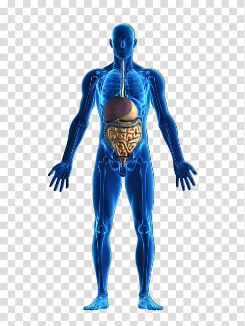 Human body Organ system Homeostasis, Peripheral Vascular.