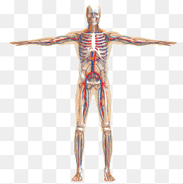 Vector Human Anatomy, Human Body, Analyz #2106.