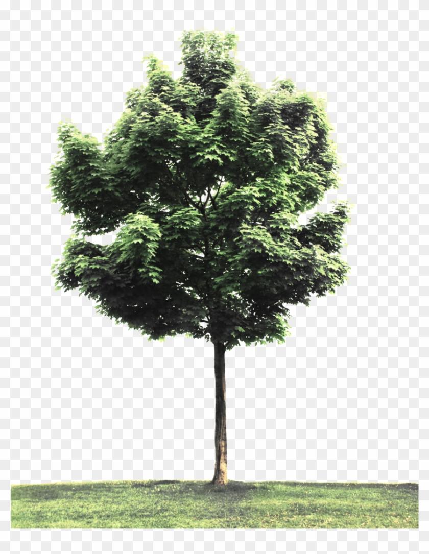 Street Tree Png.