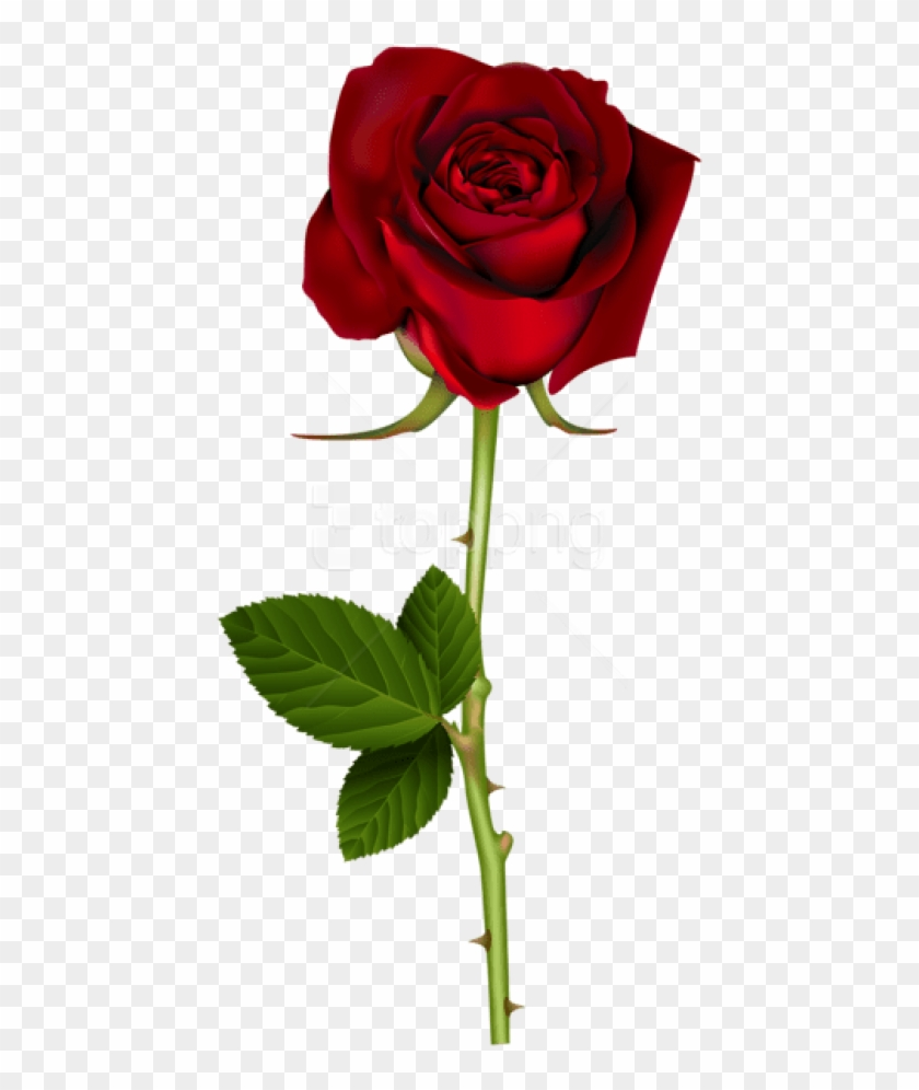 Free Png Download Red Rose Png Images Background Png.