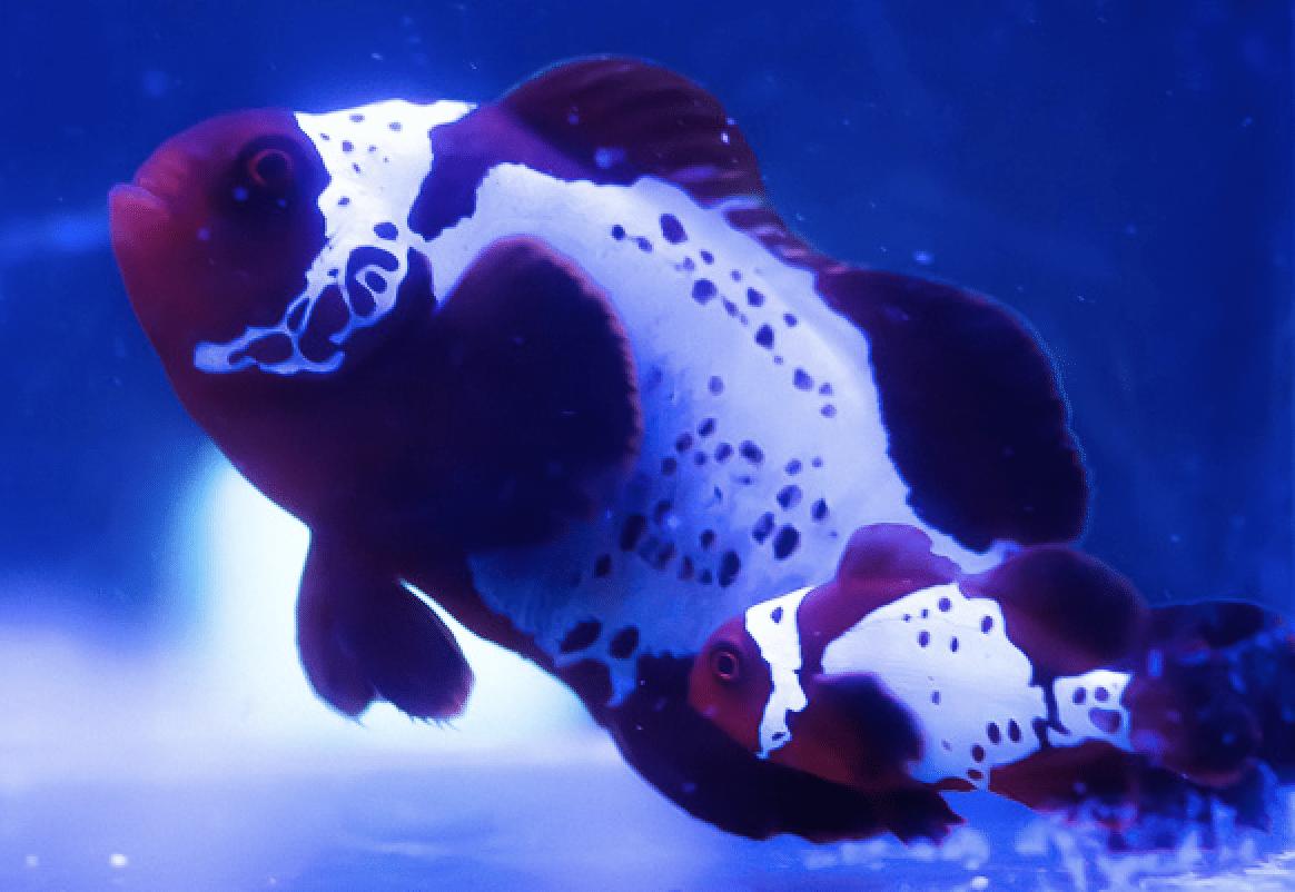 Lightning Maroon Clownfish Bonded Pair.