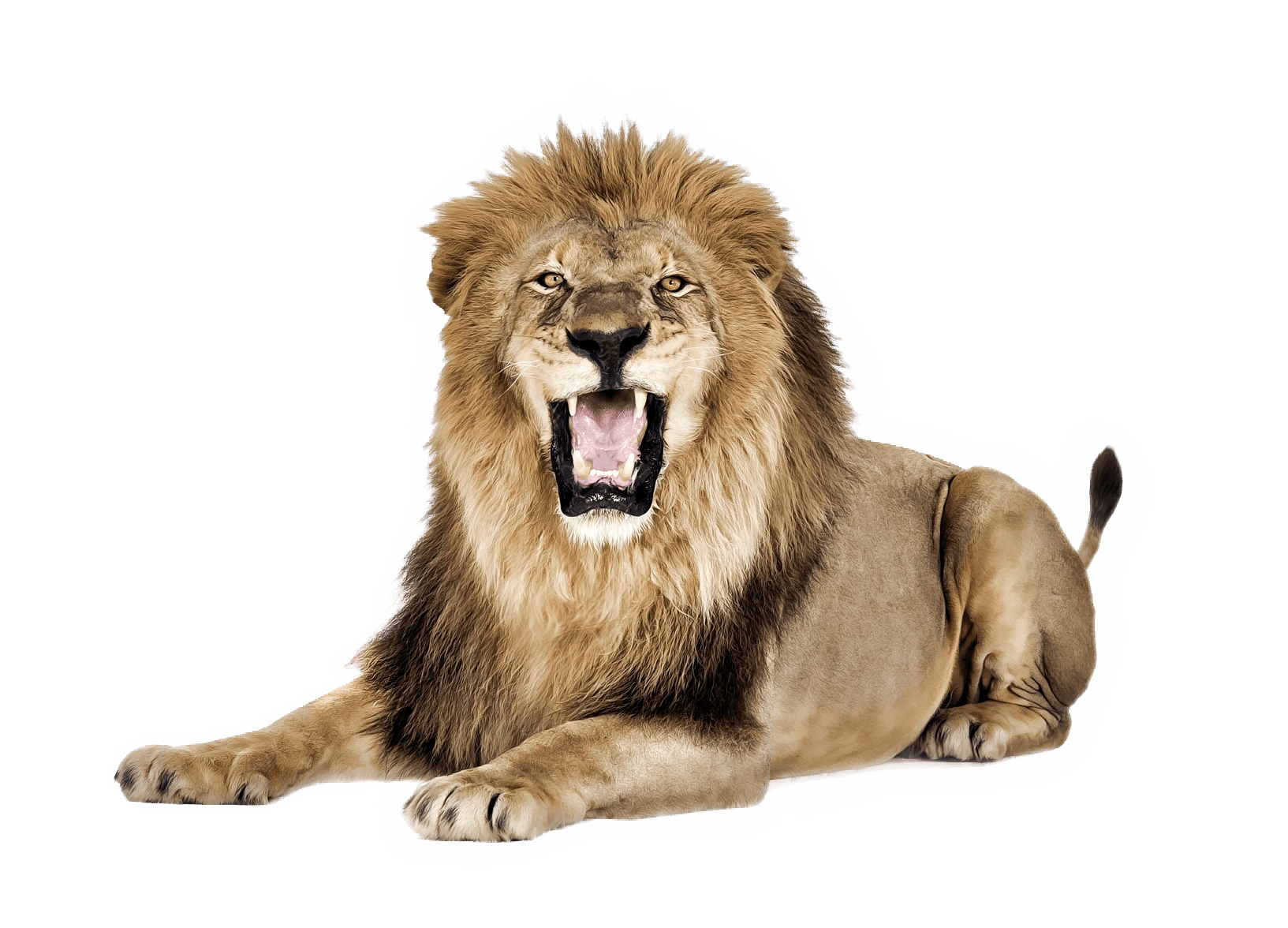 Lion Roar transparent PNG.