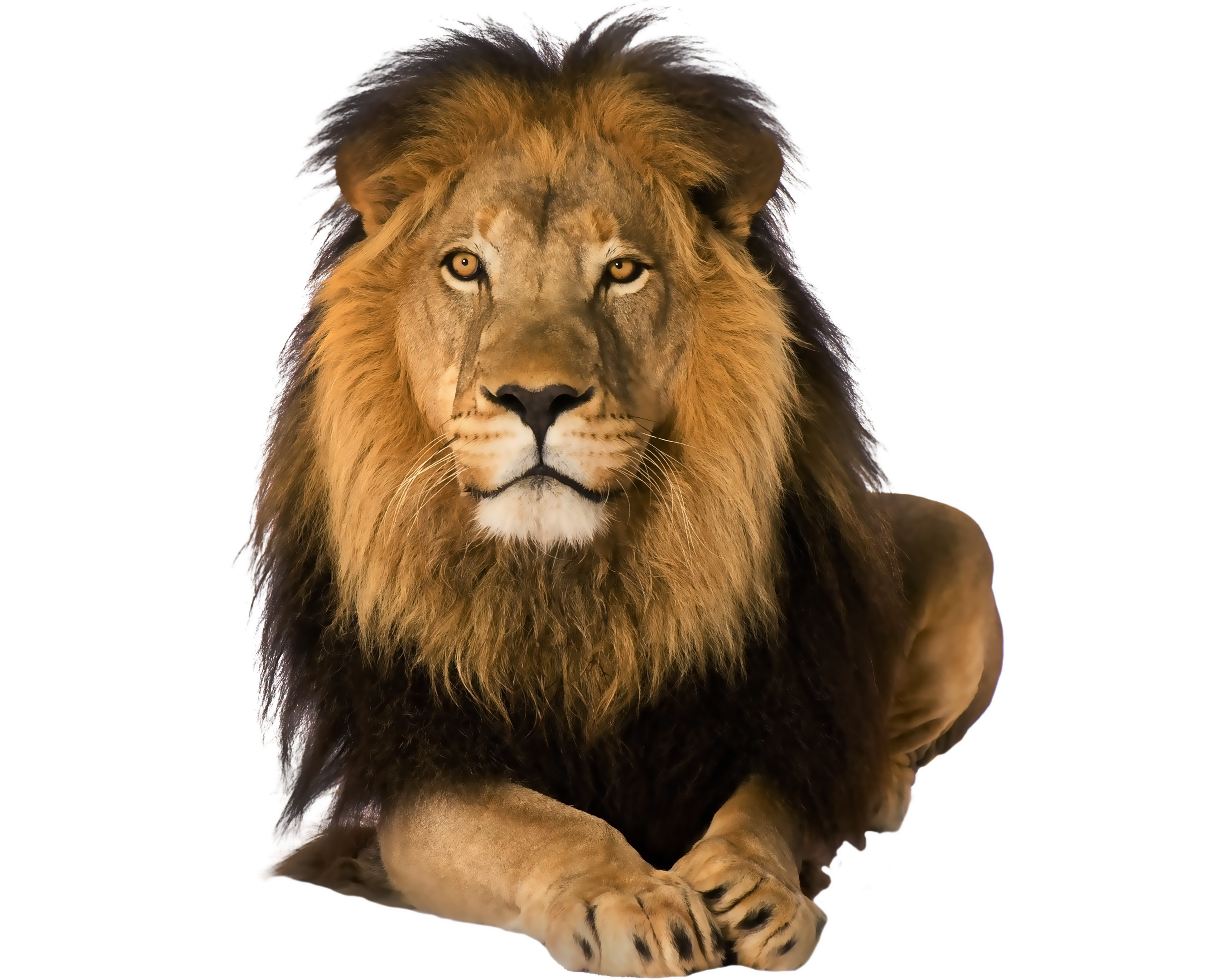 HQ Lion PNG Transparent Lion.PNG Images..
