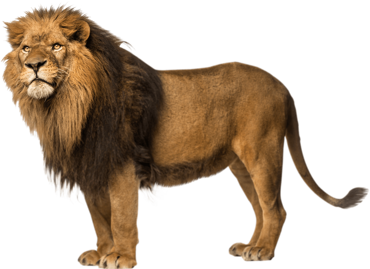 Lion Left Looking transparent PNG.