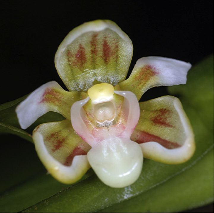 Exotic Orchids of PNG.