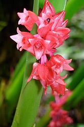 Orchids in Papua New Guinea.