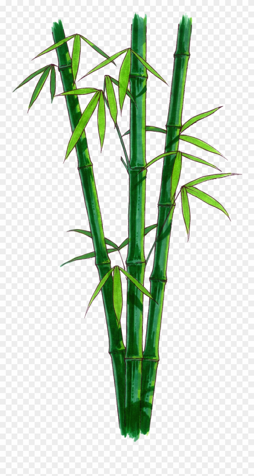 Bamboo Png Transparent Free Images Png Only Bamboo.