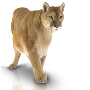 Puma PNG Images.