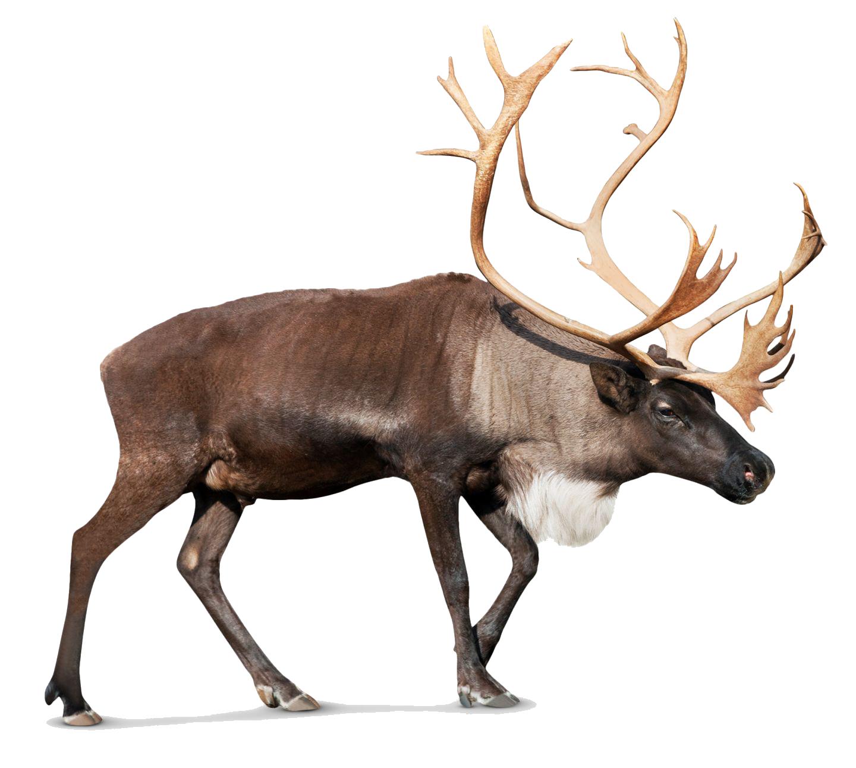 Download Reindeer PNG Photos.