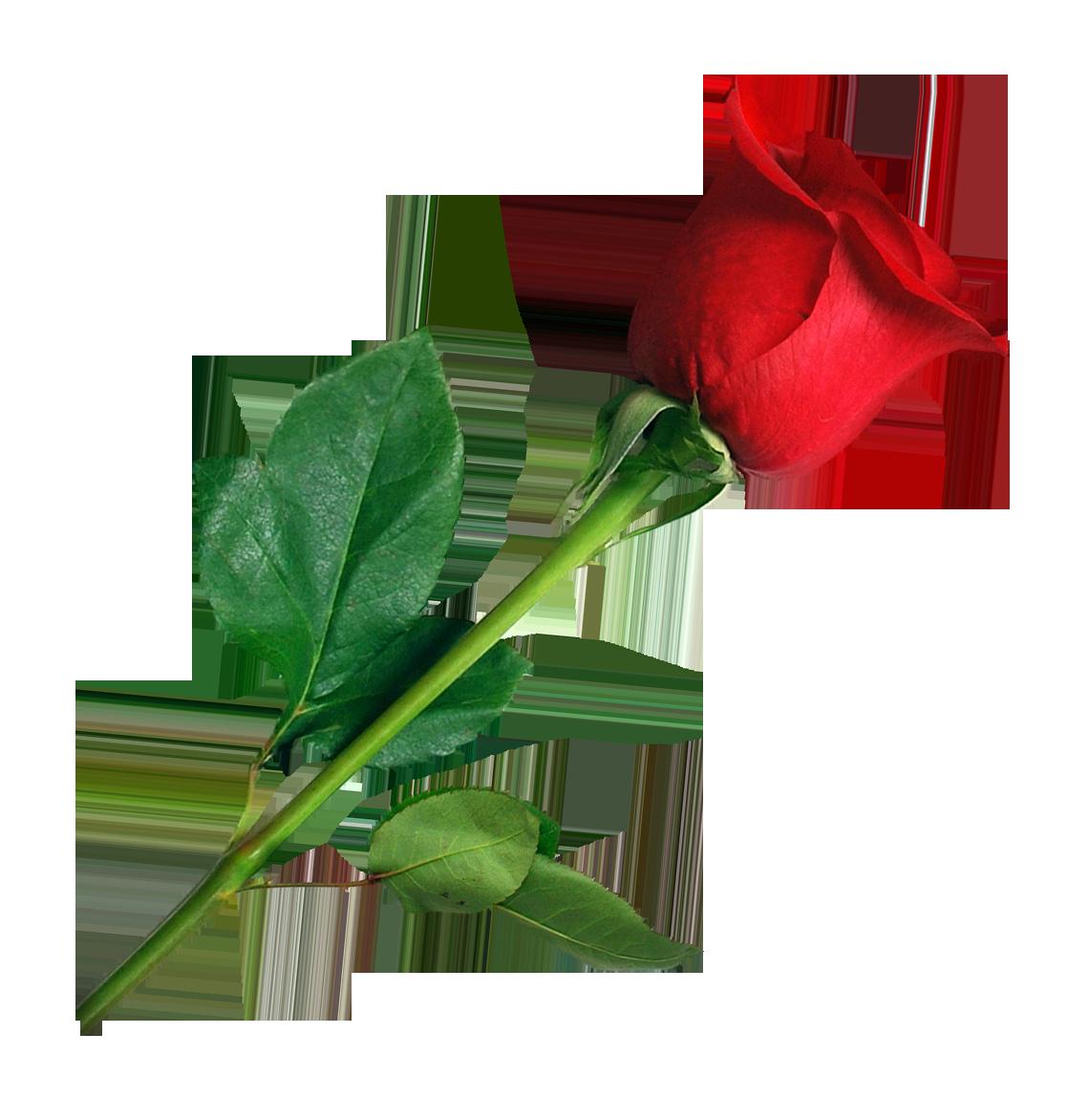 Rose PNG Image.