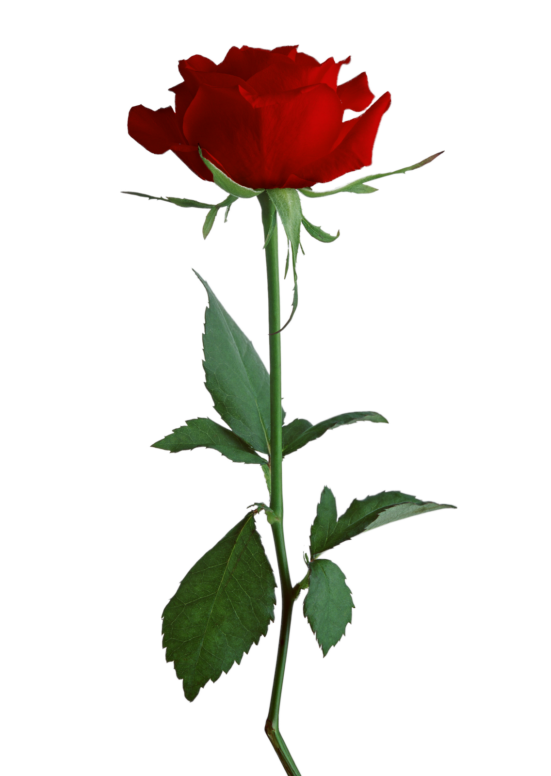 Rose Transparent PNG Pictures.