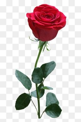 Rose, Rose Clipart, Flowerred PNG Transparent Clipart Image.