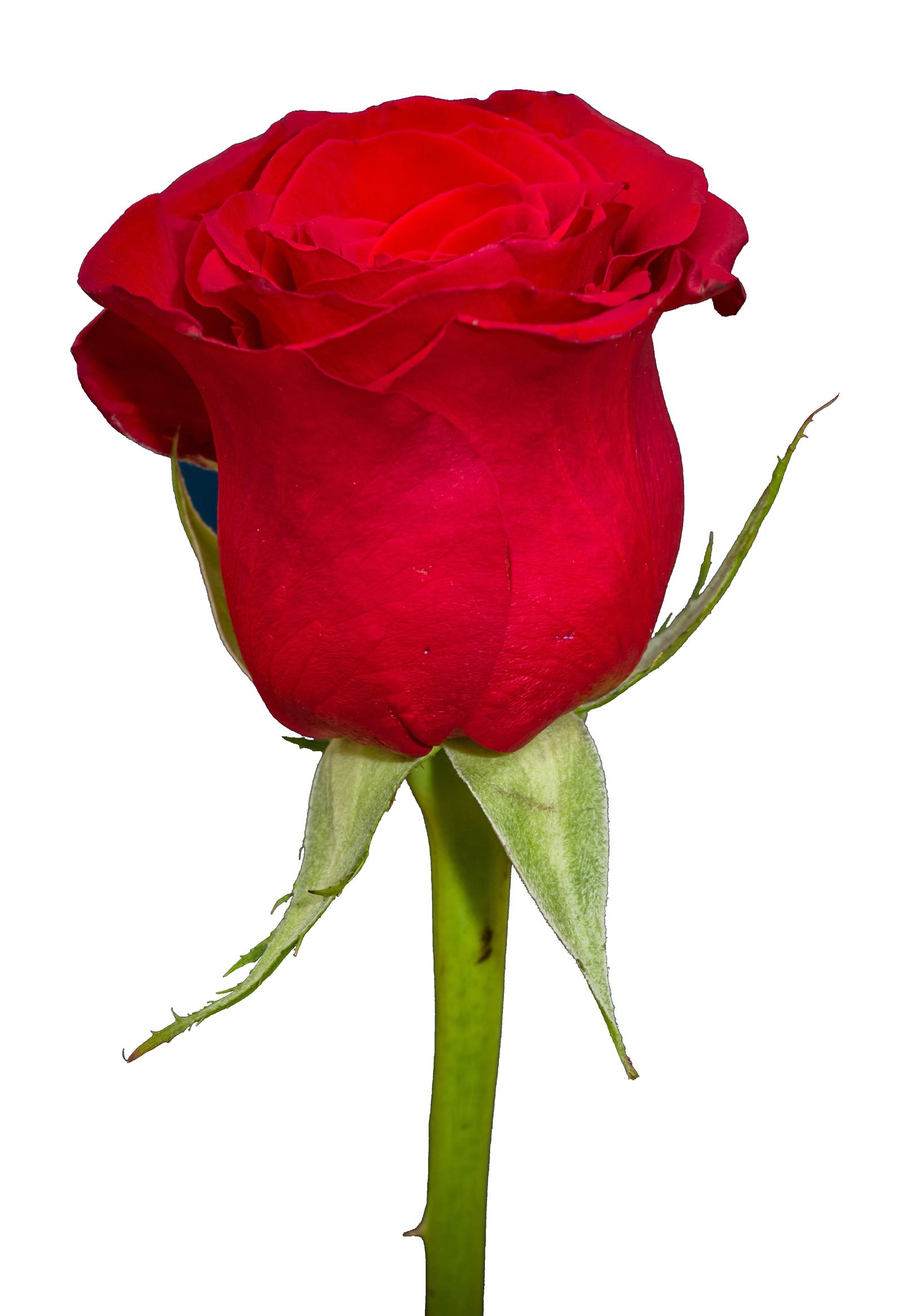 Rose HD PNG Transparent Rose HD.PNG Images..