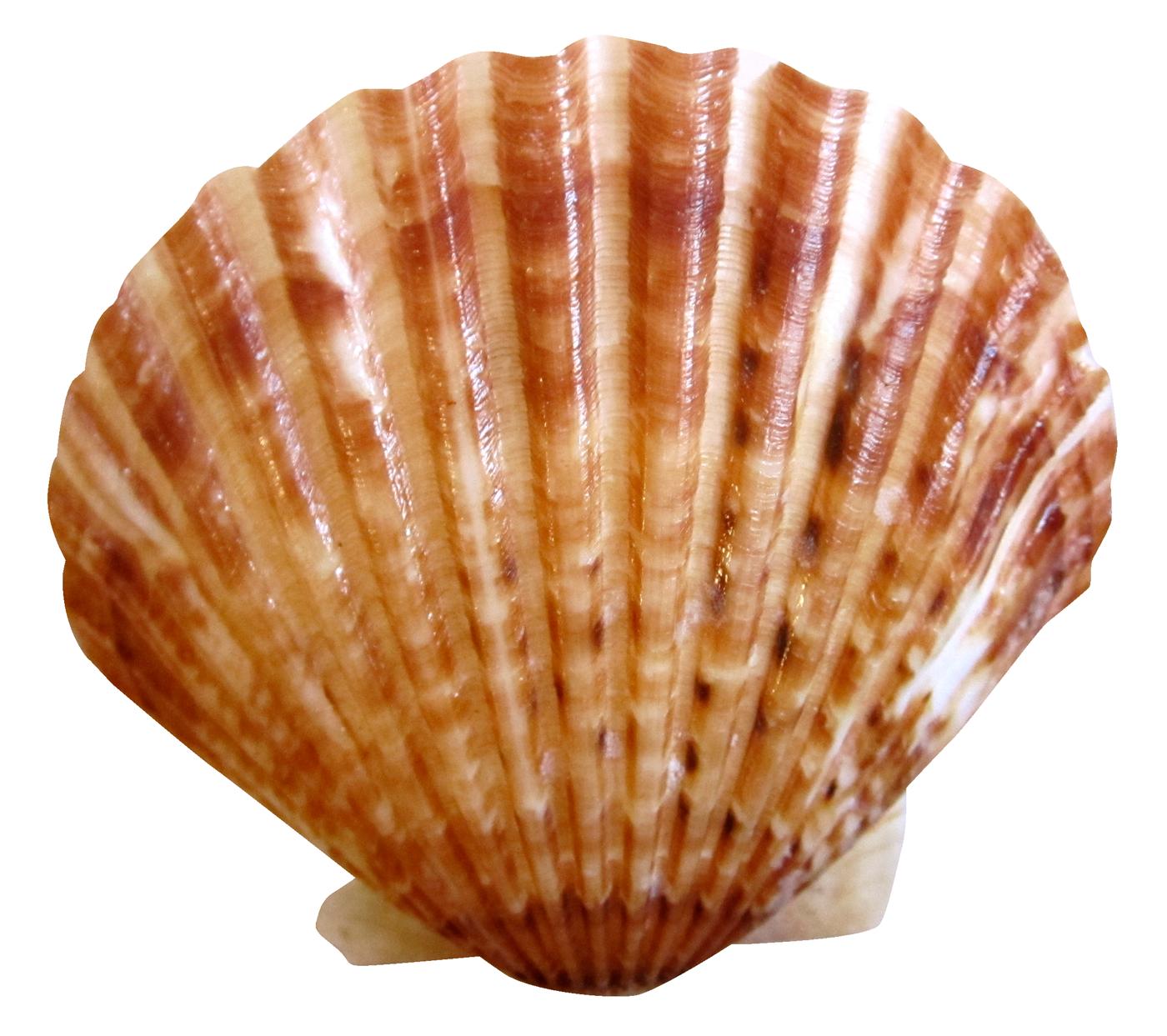 Sea Ocean Shell PNG Image.