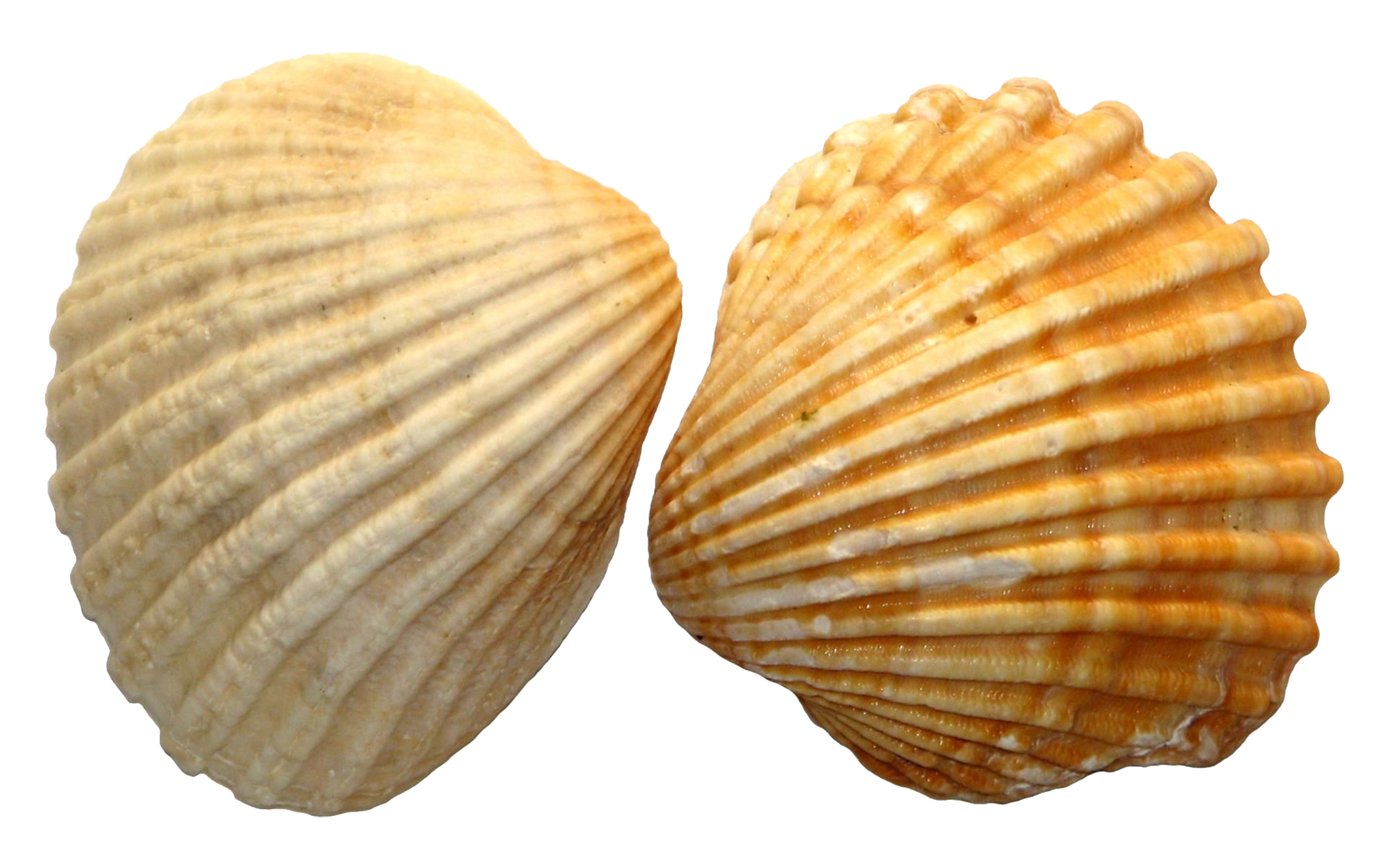 Download Shell PNG Image File.