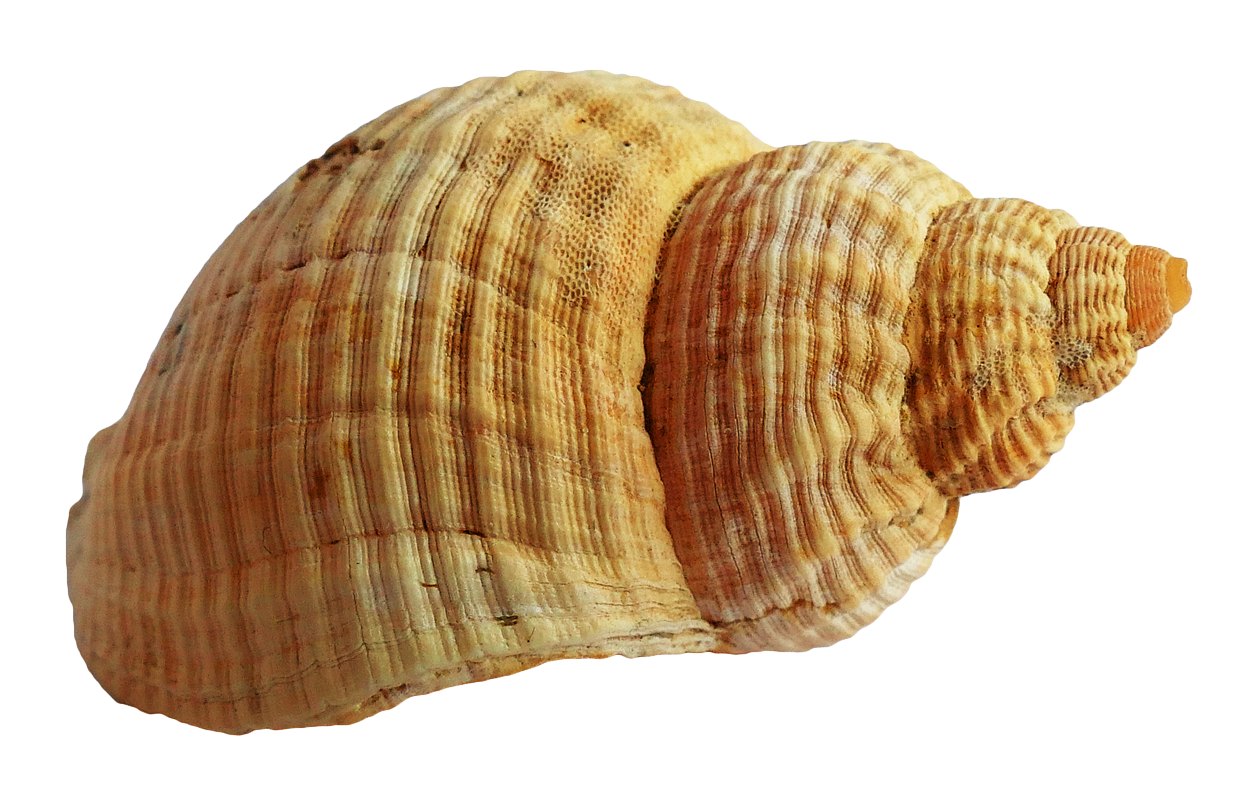 Download Shell PNG Picture.