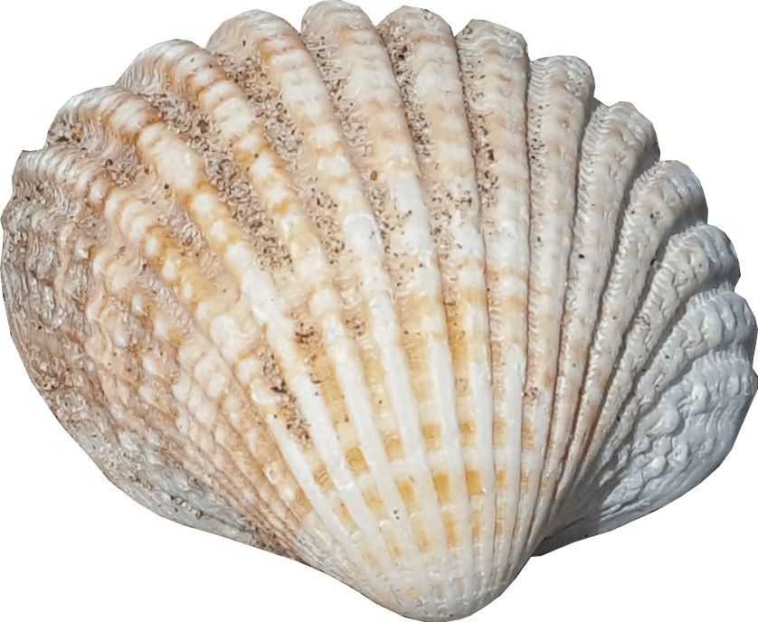 Sea shell no background PNG image sealife graphics.