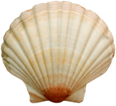 Sea Shell transparent PNG.