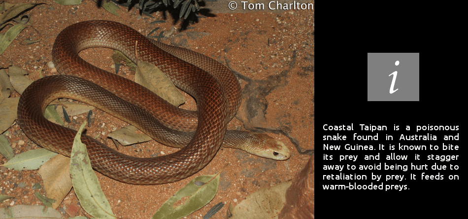 30 Interesting Coastal Taipan Snake Facts.