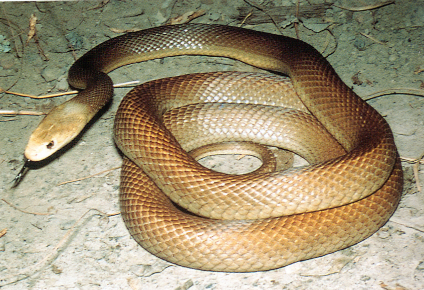Png Taipan (105+ images in Collection) Page 1.