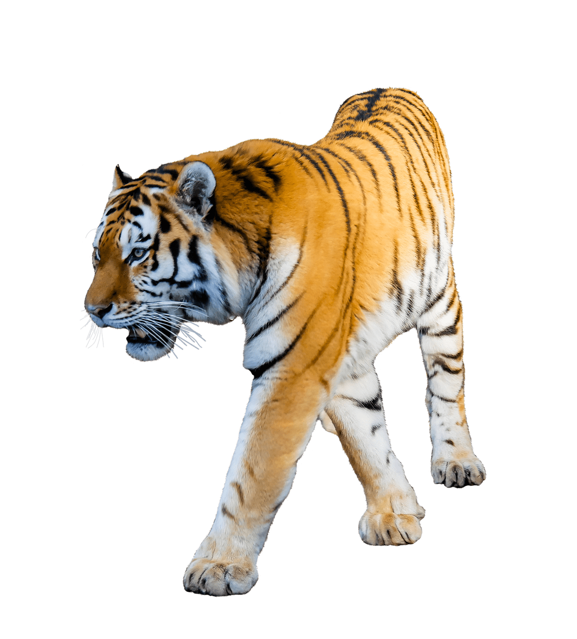 Tiger Walking transparent PNG.