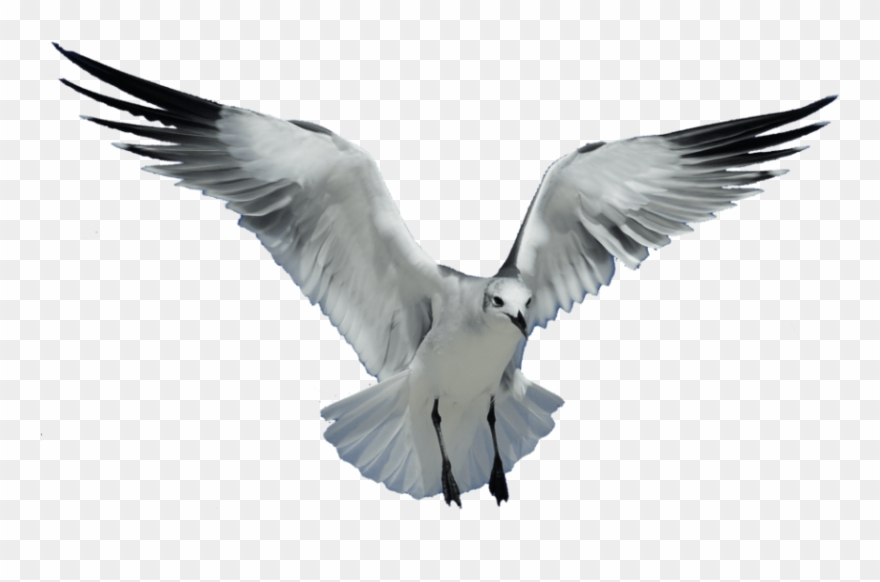 Free Png Download Seagull Transparent Png Images Background.