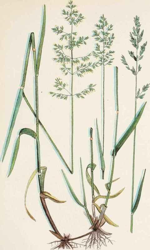 Canadian Blue Grass (Poa Compressa L.).