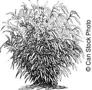 Poaceae clipart #13